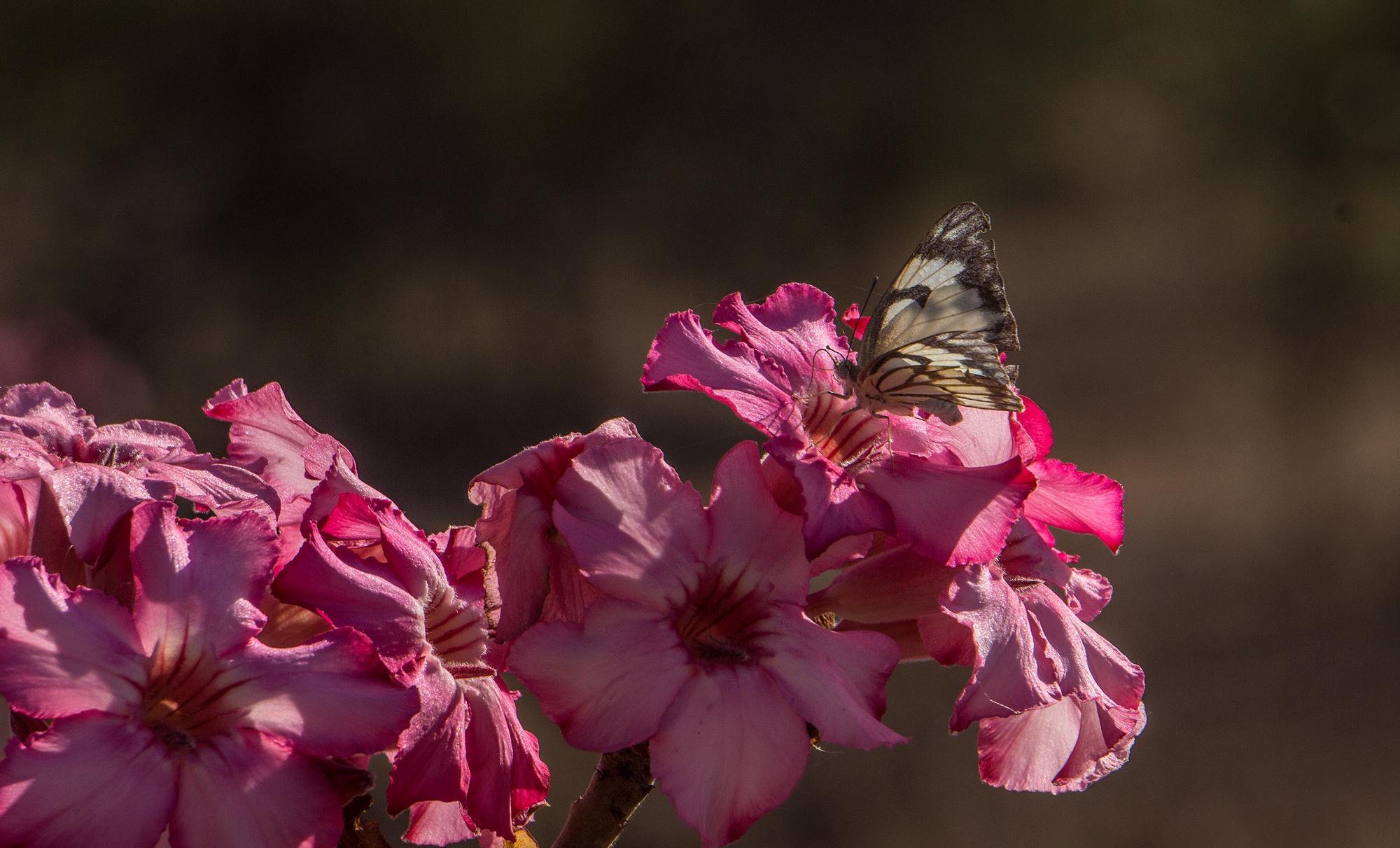 farfalla su fiore di adenium obesum