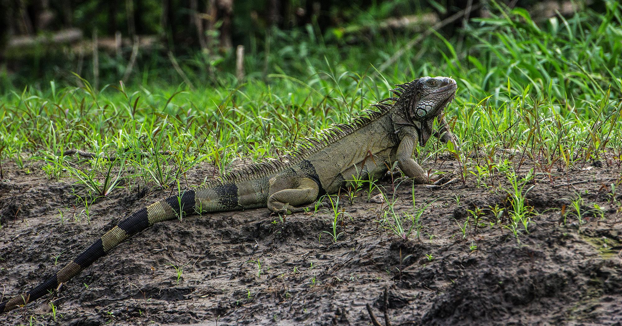 Colombia, Rio Magdalena, iguana