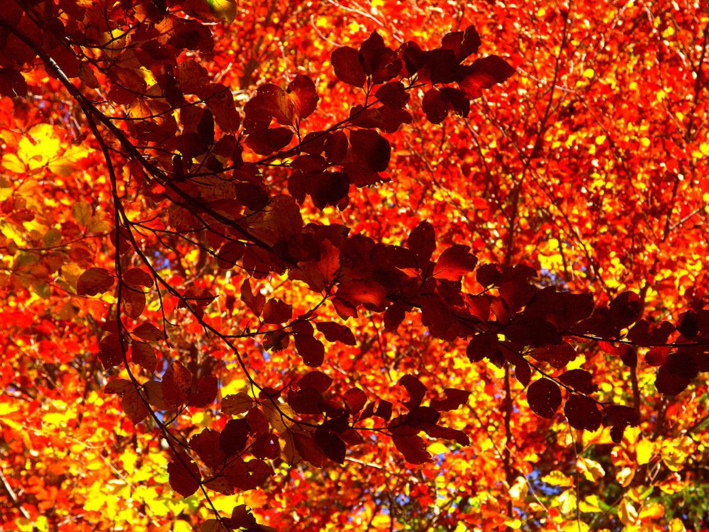 Dolomiti, l'autunno dei faggi