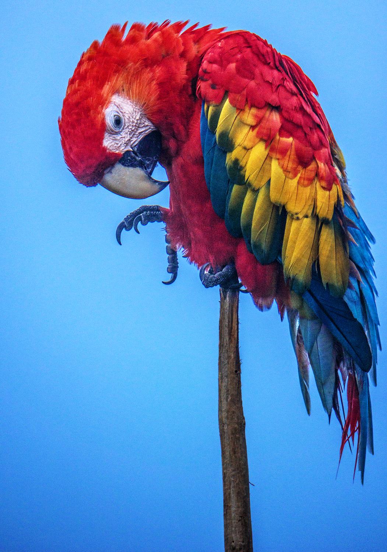 Colombia, pappagallo ara