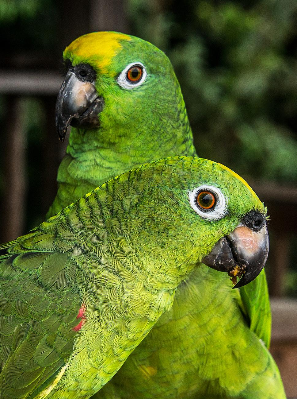Colombia, Llanos, pappagalli